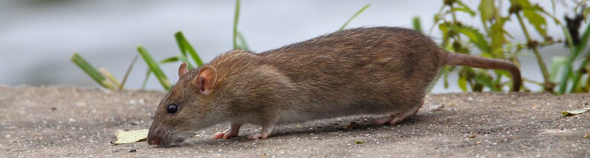 Ratten Im Garten Kammerjäger Ratgeber