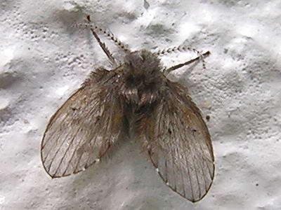 Schmetterlingsmücke